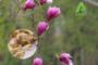Tân di hoa – vị dược liệu chữa viêm xoang hiệu quả
